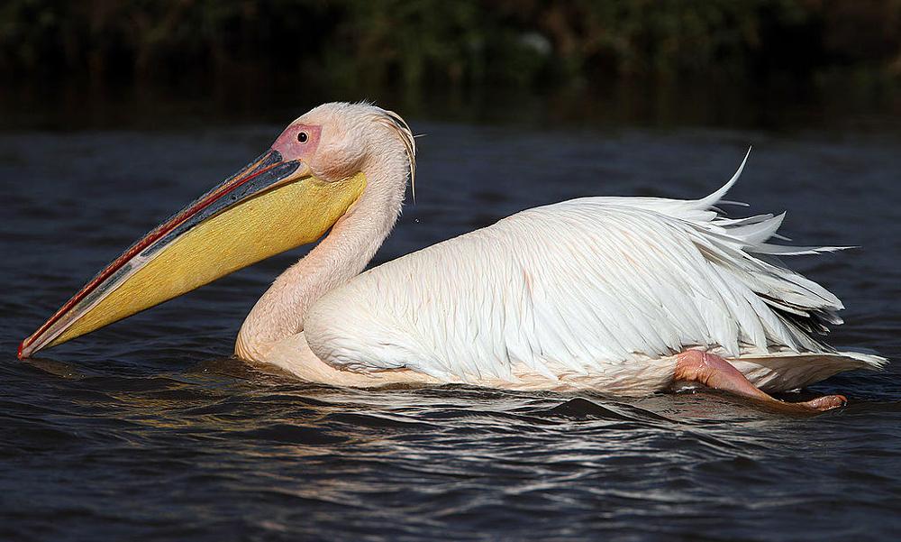 Pellicano bianco - Great White Pelican - (Pelecanus onocrotalus)