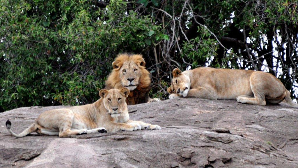 Un leader con due leonesse, nel Serengeti settentrionale
