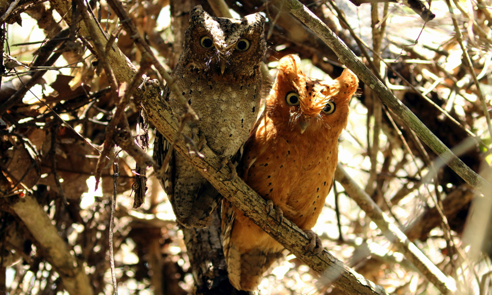 Assiolo di Sokoke o Gufo di Sokoke - Sokoke Scops Owl - (Otus ireneae)