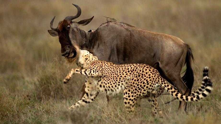Gnu attaccato da un ghepardo.