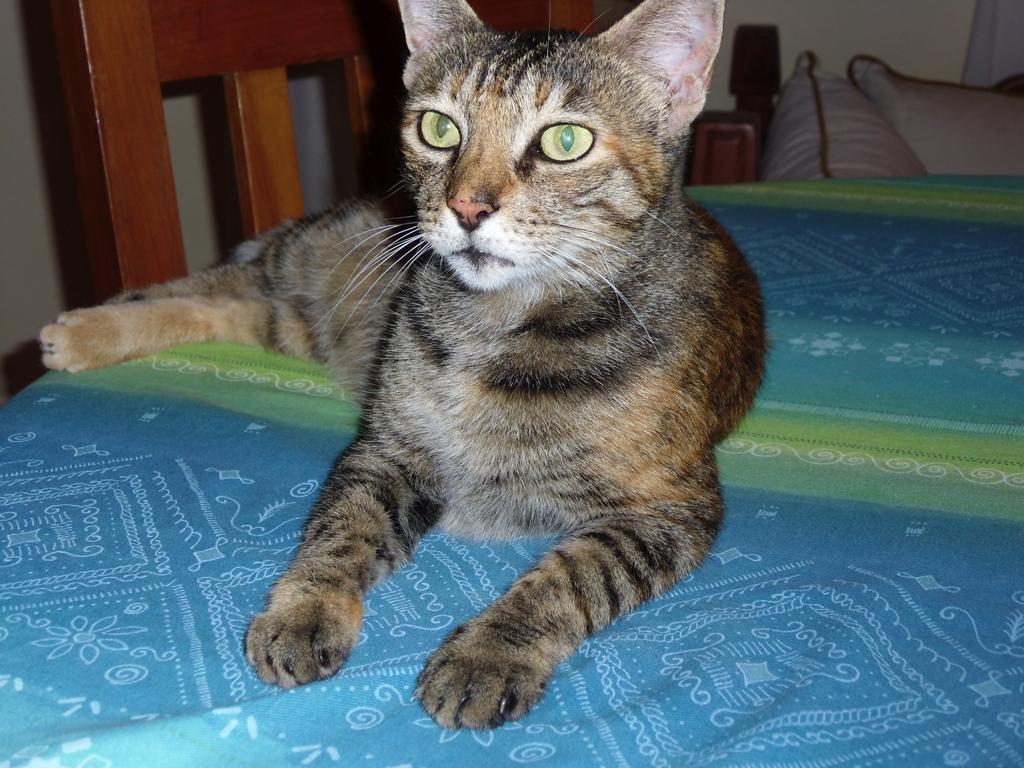 Sokoke Forest Cat named Micia Yo-Yo