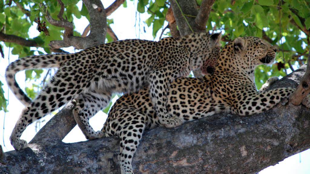 Coppia di leopardi