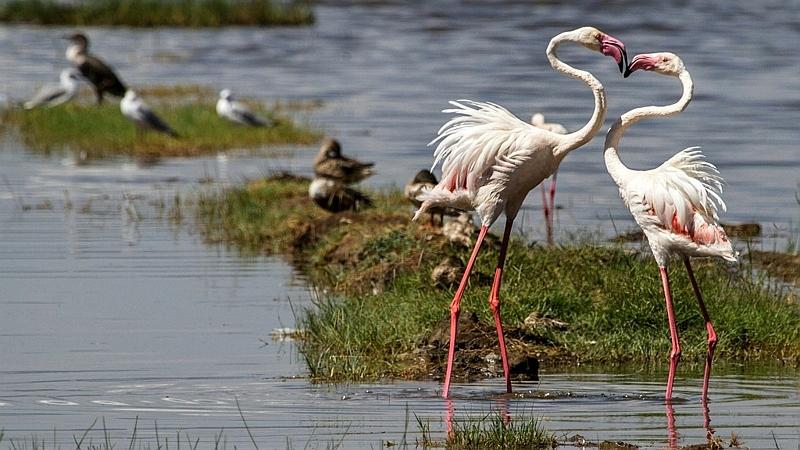 Kenya. Fenicotteri rosa
