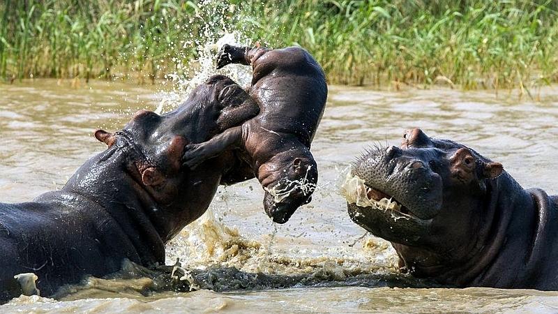 Kenya. Femmina di ippopotamo cerca di difendere il suo piccolo da un maschio adulto della sua stessa specie