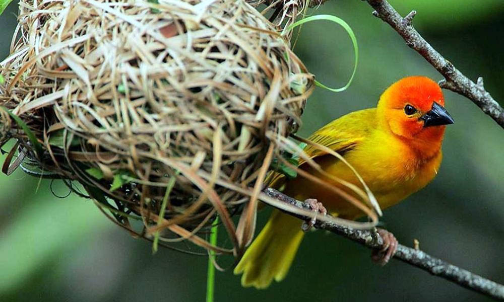 Tessitore dorato delle palme - Golden Palm Weaver - (Ploceus bojeri)
