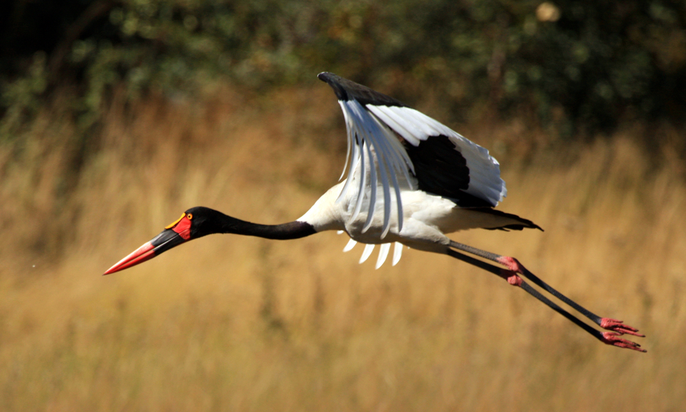 Cicogna becco a sella africana o Mitteria del Senegal - Saddle Billed Stork - (Ephippiorhynchus senegalensis)