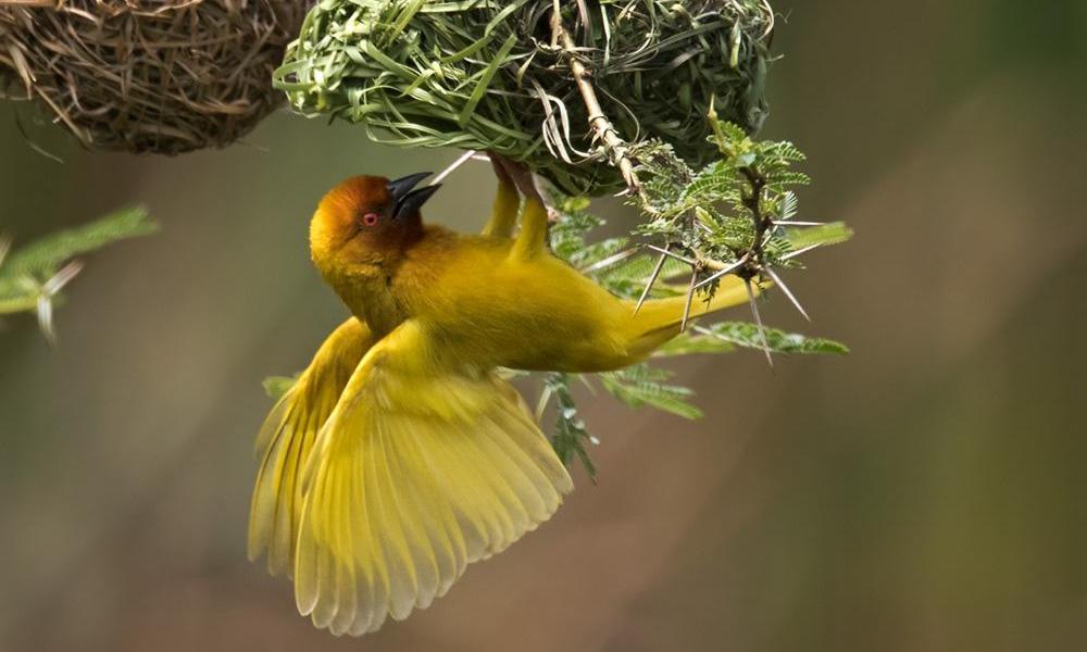 Tessitore dorato africano - African Golden Weaver - (Ploceus subaureus)