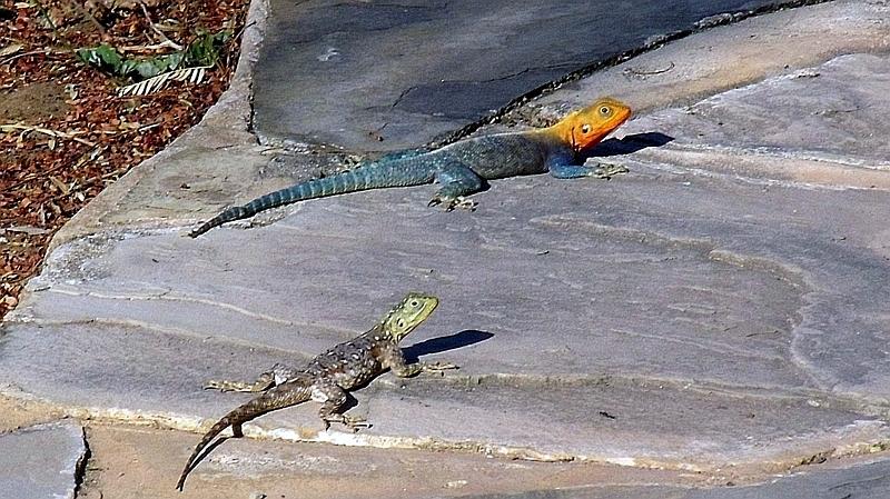 Kenya. Agama roccia del Kenya (Agama lionotus)