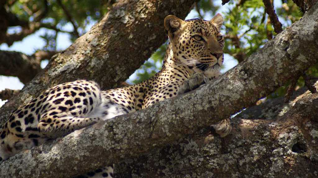 Leopardo. Ngorongoro