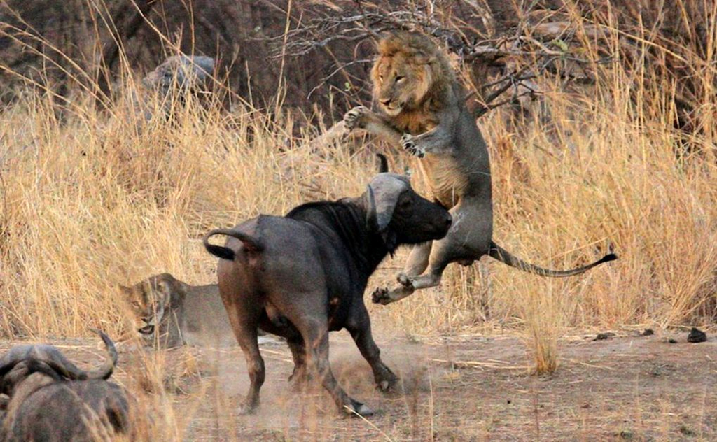 Bufalo vs Leone