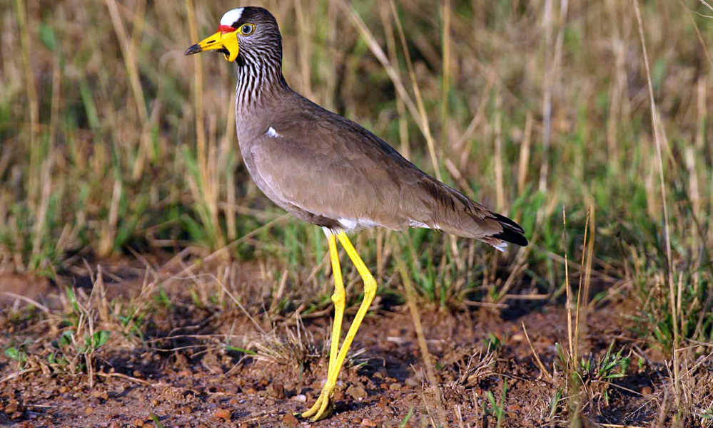 Pavoncella del Senegal - African Wattled Lapwing or Senegal Wattled Plover - (Vanellus senegallus)