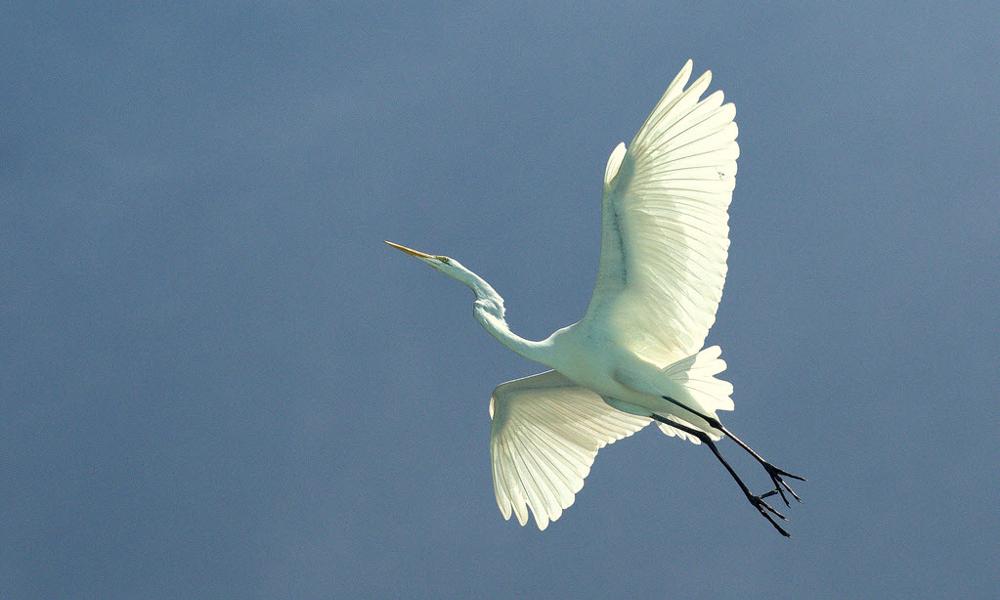 Airone bianco maggiore - Great White Egret - (Ardea alba)