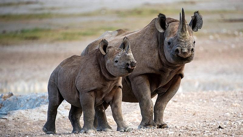 Kenya. Rinoceronte - Rhinoceros