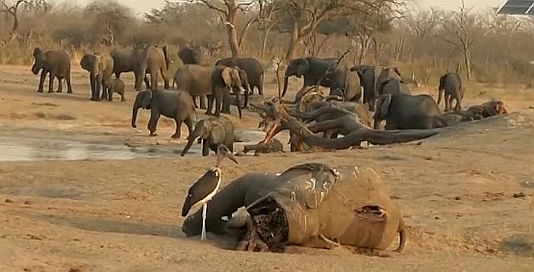 Botswana. Carcassa di elefante morto a causa della siccità