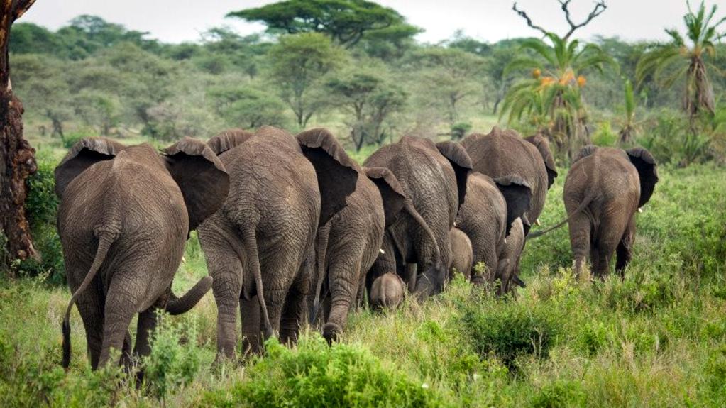 Elefanti africani in cammino