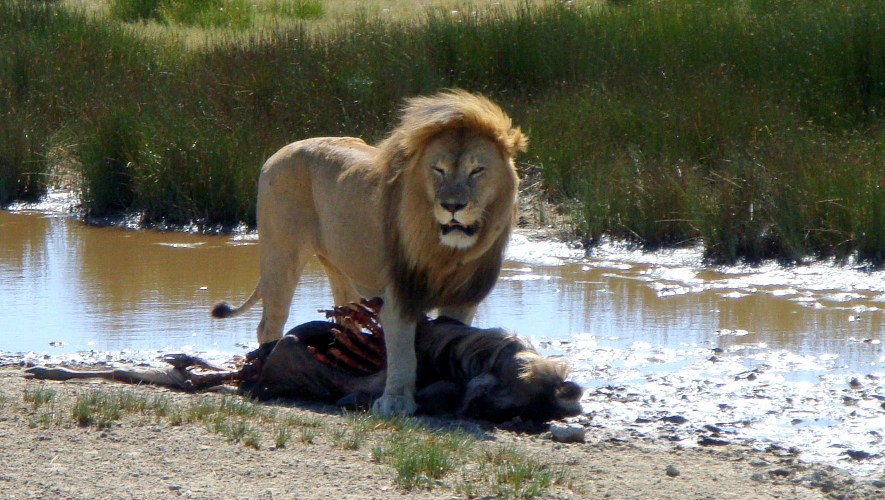 Leone Masai maschio nel Serengeti