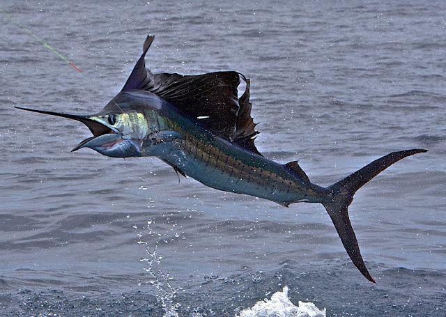 Pesce Vela - Indo-Pacific sailfish