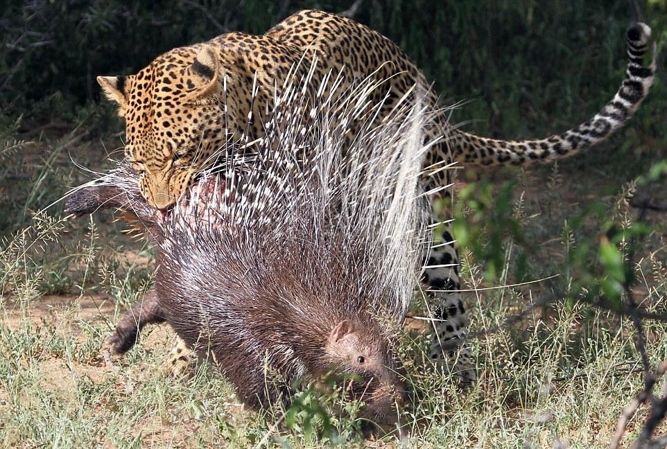 Istrice africano nella morsa del leopardo predatore