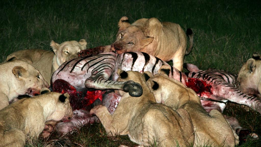 Un gruppo di cacciatrici divora una zebra appena catturata ed uccisa