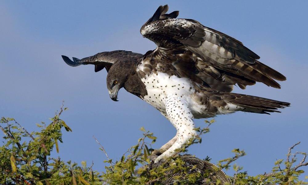 Aquila marziale - Martial Eagle - (Polemaetus bellicosus)