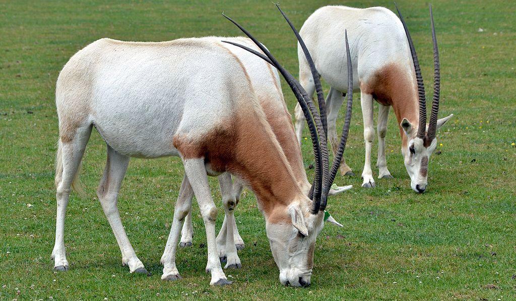 Orice dalle corna a sciabola - Scimitar oryx (Oryx dammah)