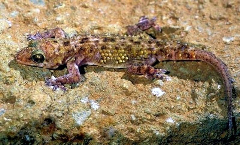 Geco a foglia larga (Hemidactylus macropholis)