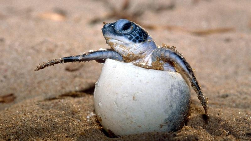 Kenya. Tartaruga al Lamu Marine Conservation