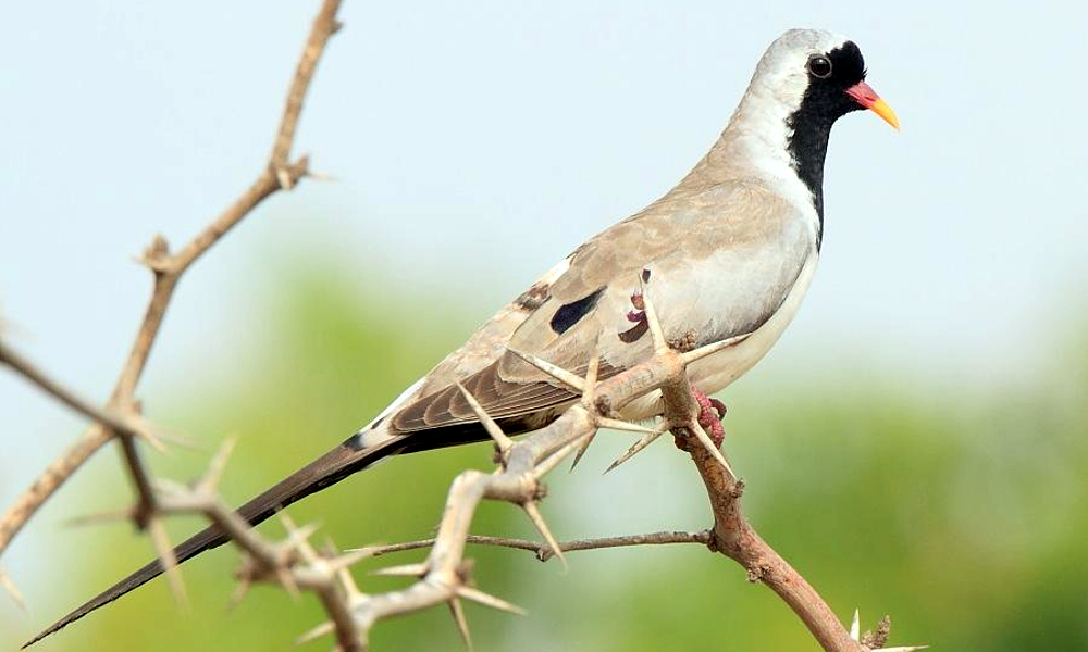 Tortora del Namaqua - Namaqua Dove - (Oena capensis)