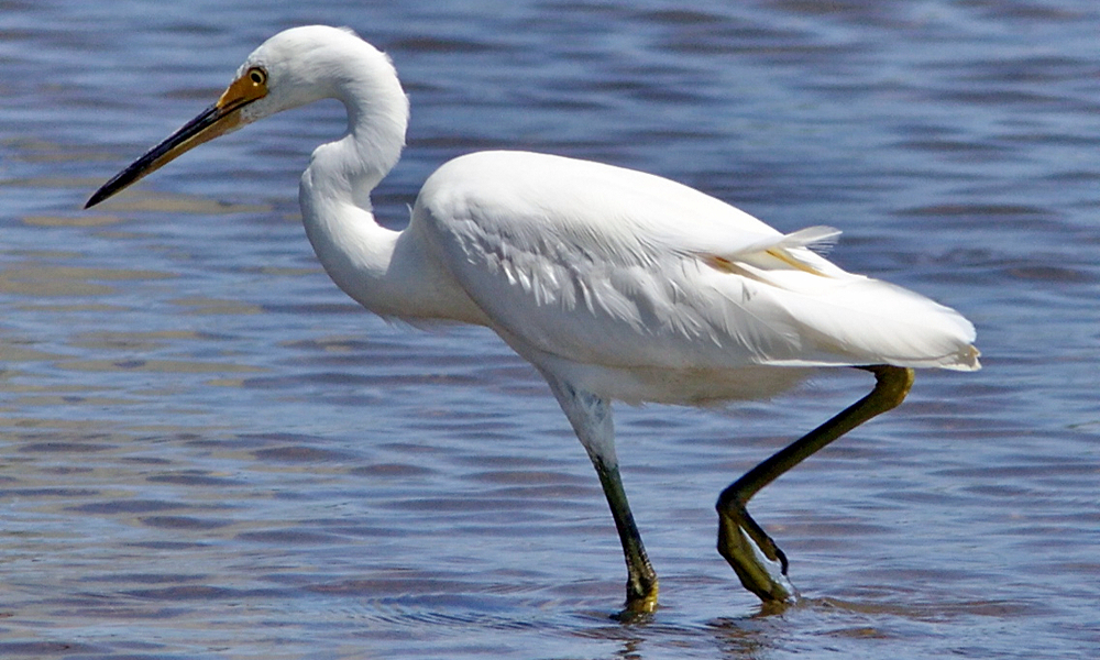 Garzetta - Little Egret - (Egretta garzetta)