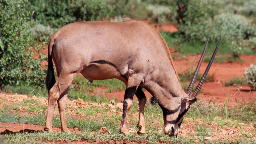 Lago Jipe Kenya. Orice beisa o Orice dell'Africa orientale (Oryx beisa)