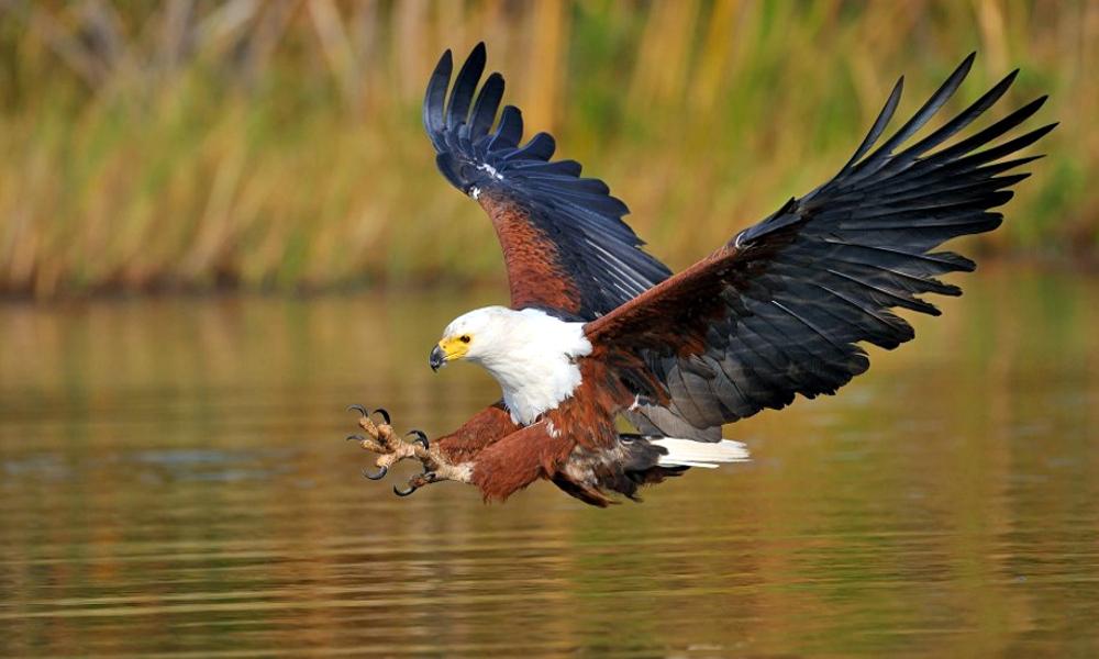 Aquila pescatrice africana - African Fish Eagle - (Haliaeetus vocifer)