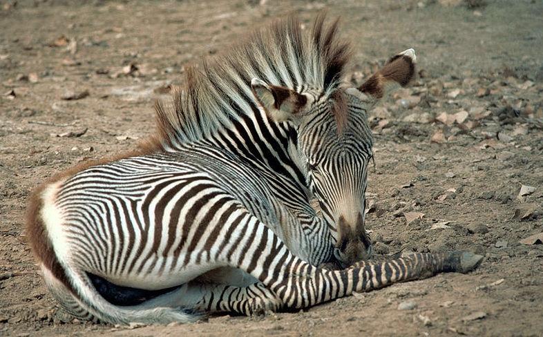 Piccola zebra di Grévy che si riposa.