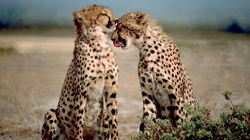 Kenya. Ghepardi - Cheetahs (Acinonyx jubatus)