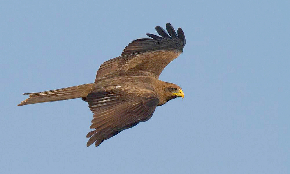 Nibbio bruno - Black Kite - (Milvus migrans)