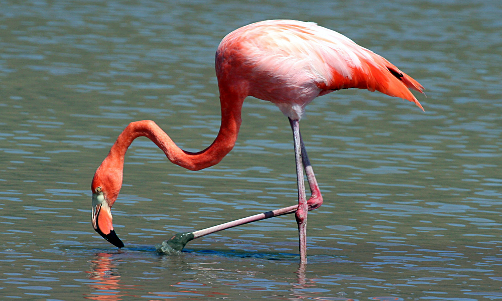 Fenicottero rosa - Greater Flamingo - (Phoenicopterus roseus)