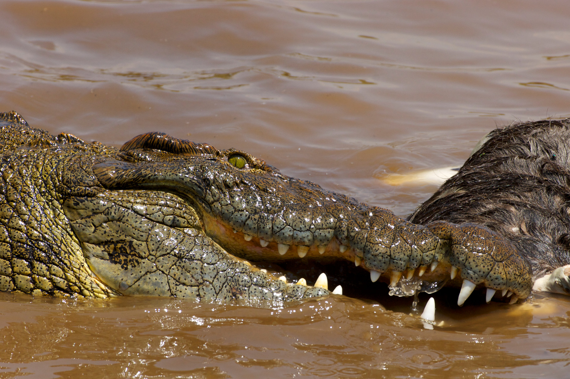 Fiume Mara, Kenya. Coccodrillo del Nilo e Wildebeest (Crocodylus niloticus e Connochaetes taurinus). Un grande coccodrillo si nutre di uno gnu morto. I denti terribili e l'occhio verde del rettile si combinano per un'immagine ad alto impatto