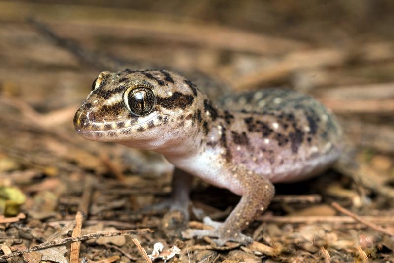 Geco a foglia di Tornier (Hemidactylus squamulatus)