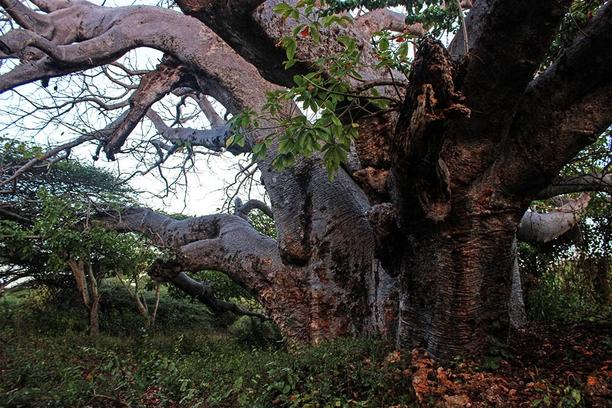 Takwa Ruins. Boabab