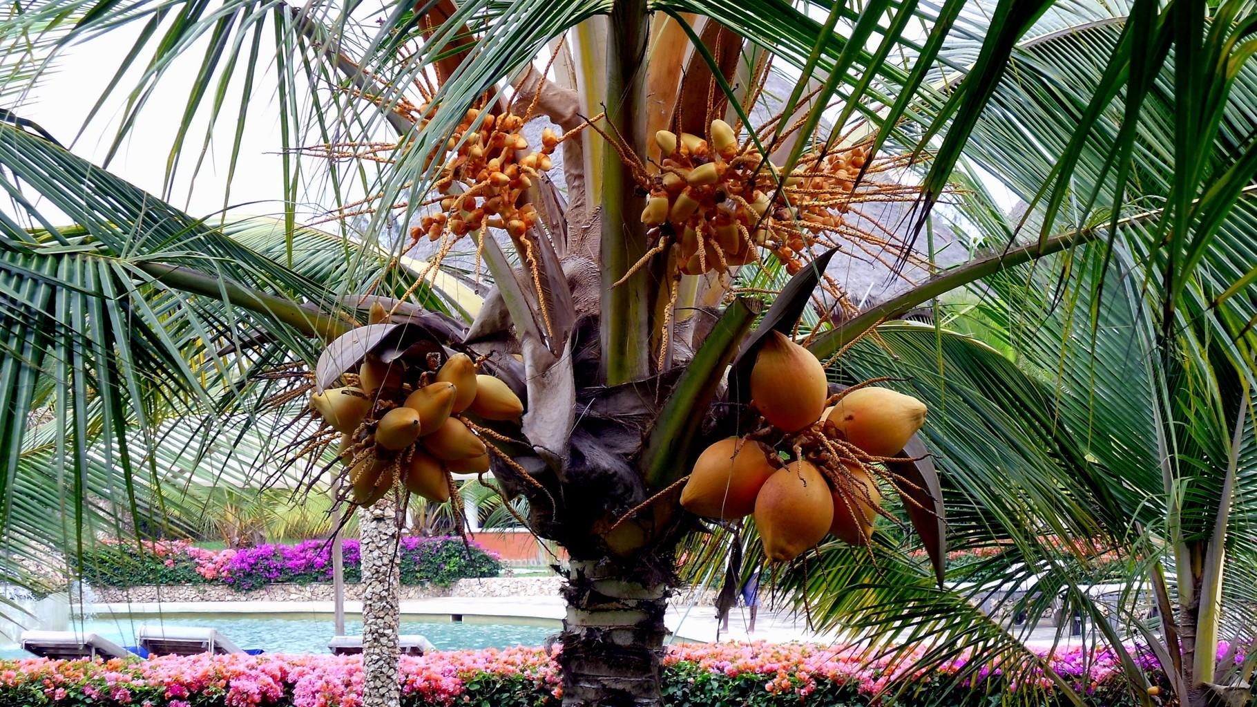 Palma da cocco.