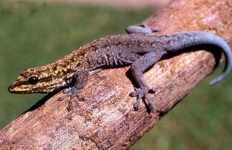 Geco nano di Mann (Lygodactylus manni)