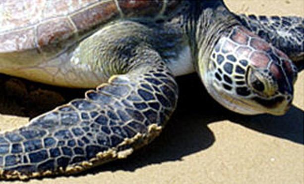 Manda Island. Lamu Marine Turtle