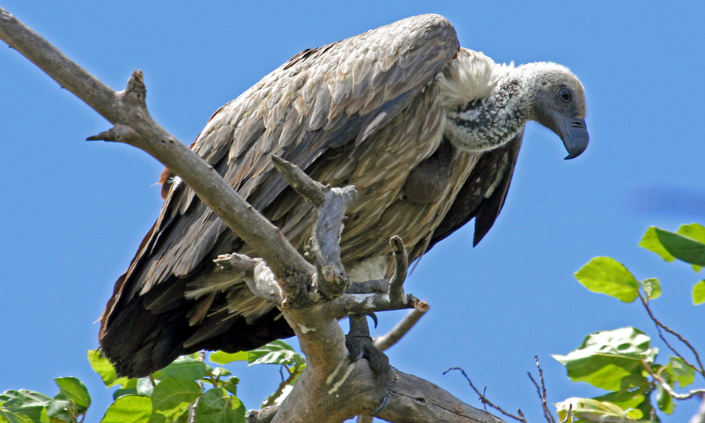 Grifone dorsobianco africano - African White Backed Vulture - (Gyps africanus Salvadori)