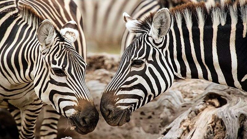 Zebre. Parco Nazionale Amboseli