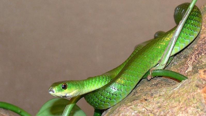Battersby's Green Snake (Philothamnus battersbyi) o serpente verde di Battersby