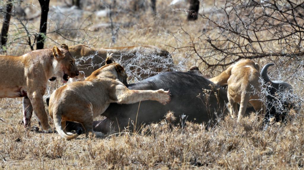 Quattro leonesse riescono ad avere la meglio su un grosso maschio di bufalo nel Serengeti centrale, in Tanzania