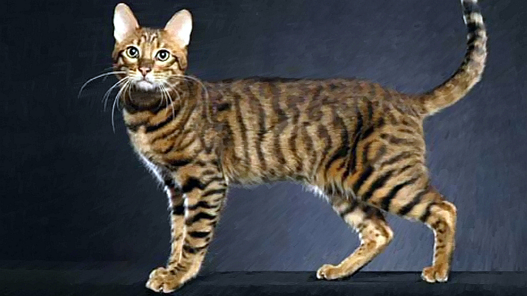 Sokoke Forest Cat