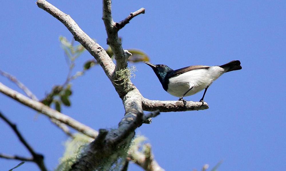 Nettarinia di Amani - Amani Sunbird - (Hedydipna pallidigaster)