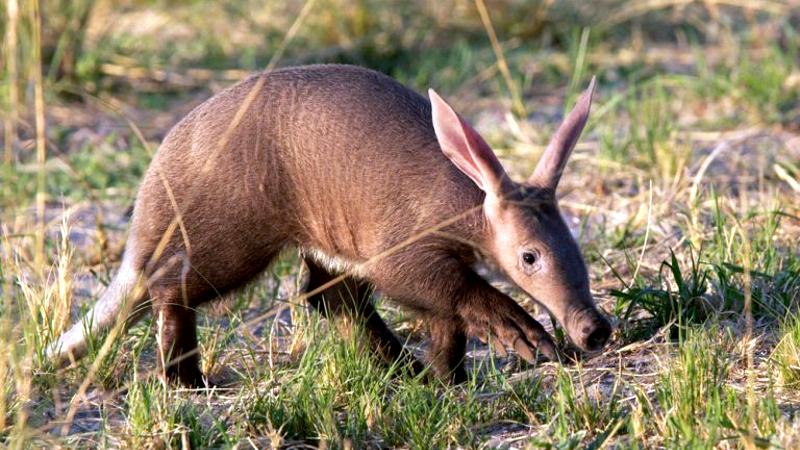 Kenya. Oritteropo - Aardvark (Orycteropus afer)