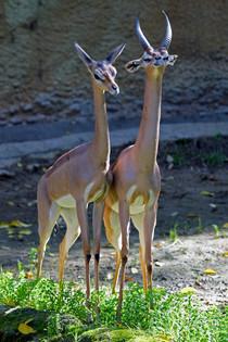 "Gherenuk. ""Gazzella giraffa"""