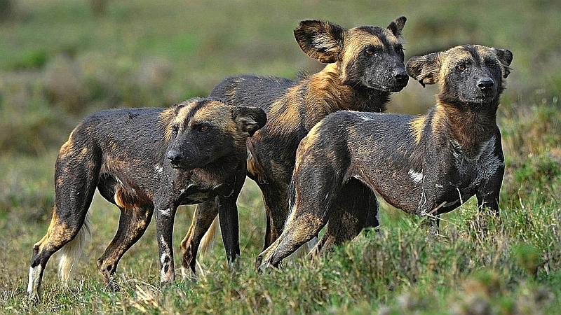 Kenya. Licaoni - African Wild Dog (Lycaon pictus)